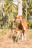 Bali cow wiht calf Stock Images