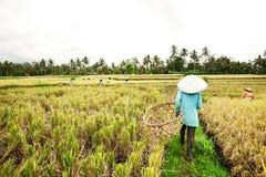 BALI - 3 DE ENERO: Arroz femenino de la planta de los granjeros del Balinese por las manos. Imagen de archivo