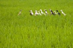 Bali ducks Stock Image