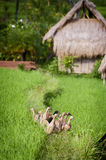 Bali Ducks. The ducks in the rice fields play an important role in the ecosystem. They eat pests and fertilize the fields. They stay together and the owner will Stock Images