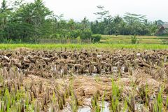 Bali ducks in rice paddy Royalty Free Stock Photos