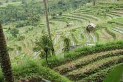 bali fältindonesia rice arkivbilder