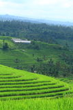 bali fältindonesia rice Royaltyfria Foton