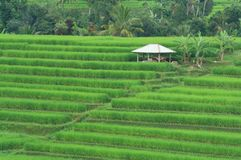 bali fältindonesia rice Arkivbild