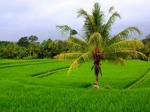 bali fields рис Индонесии Стоковые Фотографии RF