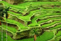 bali fields рис Индонесии Стоковое Изображение