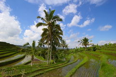 bali fields indonesia rice Royaltyfria Bilder