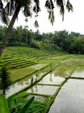 bali fields paddy Royaltyfri Bild
