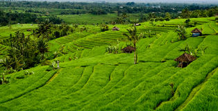 bali fields rice arkivfoton