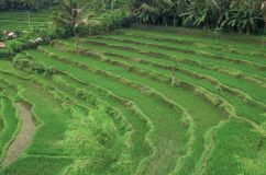 bali fields rice Royaltyfri Bild