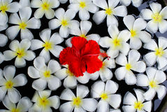 Bali flowers Royalty Free Stock Image
