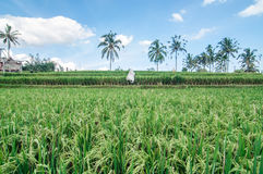 Bali forest and rice field Royalty Free Stock Photos