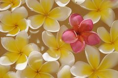 Bali - Frangipani Royalty Free Stock Images