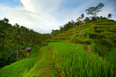 bali gór ryż tarrace obrazy royalty free