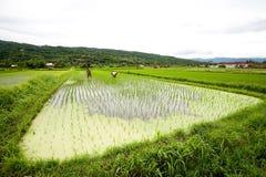 BALI - 3 GENNAIO: Agricoltori femminili di balinese che piantano riso a mano Immagini Stock