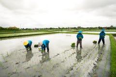 BALI - 3 GENNAIO: Agricoltori femminili di balinese che piantano riso a mano Fotografie Stock