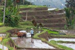 Bali. Giacimento del riso Fotografia Stock Libera da Diritti
