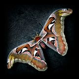 Bali Giant Butterfly - Attacus Atlas stock images