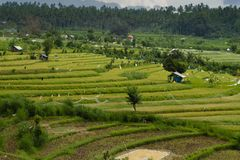 bali gröna indonesia riceterrasser arkivbild