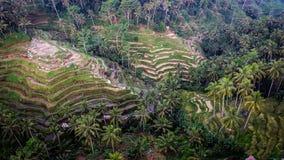 Bali Harvest Season II Stock Photos