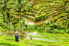Bali historic rice fields with worker Stock Photo