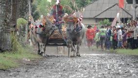 """Bali, Indonésia - em setembro de 2016: Raças búfalo do †de Makepung do """"em Bali video estoque"""