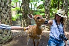 Bali, Indonésie - 22 mars 2018 : Femmes alimentant des cerfs communs dans le zoo de Bali Photo libre de droits