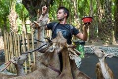 Bali, Indonésie - 22 mars 2018 : Un cerf commun de alimentation d'homme dans le zoo de Bali Photos libres de droits