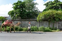 BALI/INDONESIA-, 5. APRIL 2019: Ein Kamelhirte trägt sein Kamel auf einer Asphaltstraße an einem sonnigen und heißen Tag stockbilder