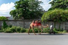BALI/INDONESIA-APRIL 5 2019: En kamelherder bär hans kamel på en asfaltväg på en solig och varm dag arkivfoto