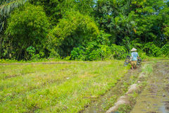 BALI, INDONESIA - APRIL 05, 2017: Farmer cleanning the area to plant some rice seeds in a flooded land in terraces, Ubud. Bali, Indonesia Stock Images