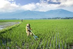 Farmer harrows rice fields by uses traditional tool stock image