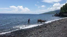 Bali, Indonesia - 20 de febrero de 2019: Mujer con la vaca en la playa negra de la arena almacen de video