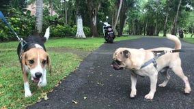 Bali, Indonesia - 5 de febrero de 2018: reunión femenina joven del perro del beagle otro perro de perrito en el parque Isla de Ba almacen de metraje de vídeo