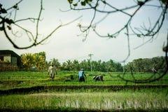 BALI, INDONESIA - 19 DE MAYO DE 2018: Granjeros indonesios que trabajan en el campo del arroz Isla de Bali fotografía de archivo libre de regalías
