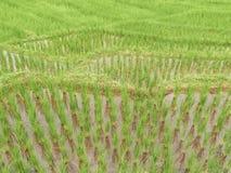 bali indonesia fotograferad riceterrass arkivfoton