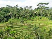 bali Indonesia fotografujący ryż taras Obraz Royalty Free