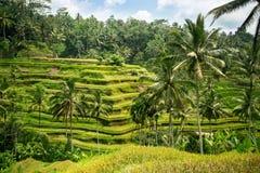 bali Indonesia fotografujący ryż taras fotografia royalty free