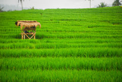 Bali Indonesia. Green rice fields on Bali island Stock Images