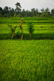 Bali Indonesia. Green rice fields on Bali island Royalty Free Stock Images