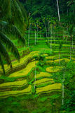 Bali Indonesia. Green rice fields on Bali island Royalty Free Stock Photos