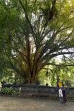 Big tree at Goa Gajah Temple. Stock Photo