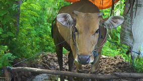 Bali, Indonesia - junio de 2019: vaca marrón en cierre del ganado para arriba Vaca de Dary en la granja Animales del mamífero en  almacen de video