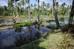 BALI, INDONESIA - LUGLIO 2014: Agricoltori che lavorano alle risaie del terrazzo su Bali, Indonesia Fotografie Stock