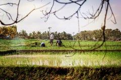 BALI, INDONESIA - 19 MAGGIO 2018: Agricoltori indonesiani che lavorano al giacimento del riso Isola di Bali Immagini Stock
