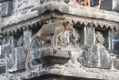 Bali,Indonesia. Monkey in temple. Royalty Free Stock Image