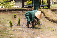 Bali Indonesia Rice Field planting into water by local people. Bali Indonesia Rice Field planting plants into water by local people Royalty Free Stock Image