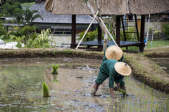 Bali Indonesia Rice Field planting water people. Bali Indonesia Rice Field planting in water local people Royalty Free Stock Image