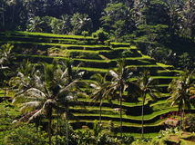 BALI, INDONESIA - Rice terraces and palm trees, located near the town of Ubud in Bali, Indonesia. BALI, INDONESIA - An picturesque photo of rice terraces and Royalty Free Stock Photo
