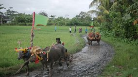 Bali, Indonesia - September, 2016: Makepung – Buffalo Races in Bali. A cultural tradition. The dressed up bovines hooked up to wooden plough with jockey stock video footage